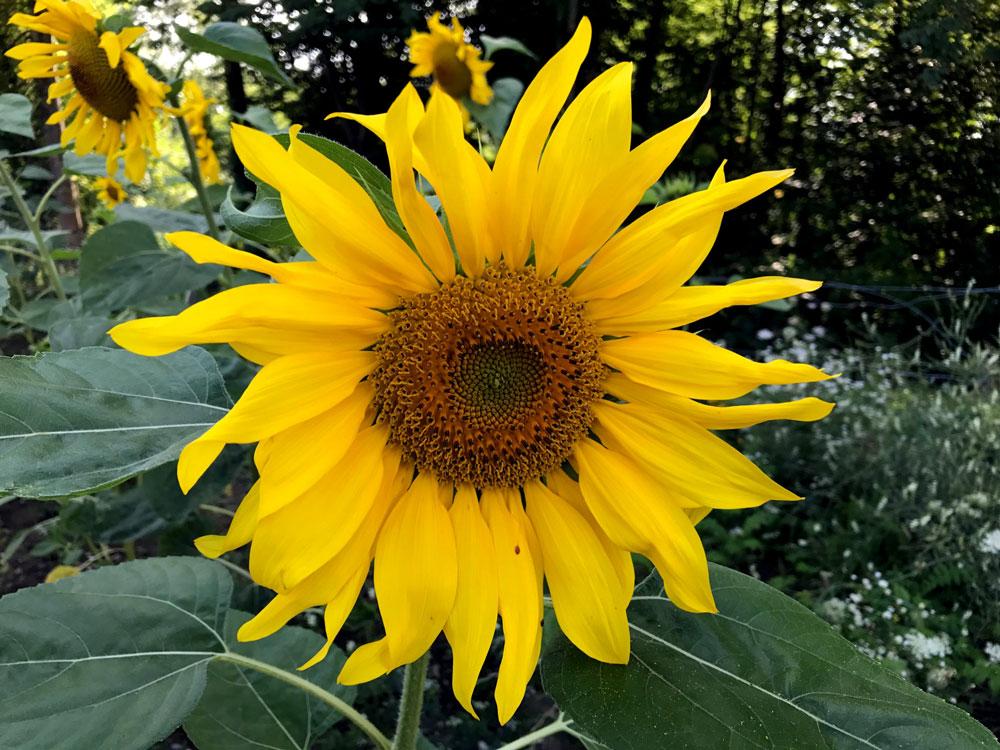 Sonnenblume_bearbeitet-1_2017-08-06.jpg