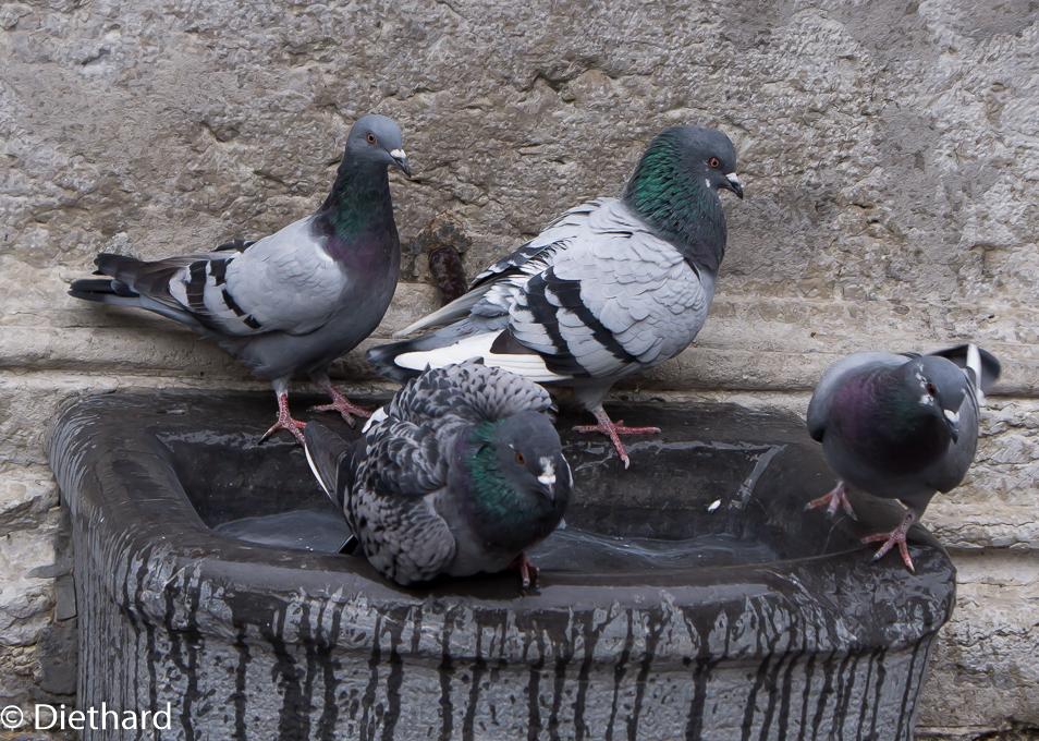 TaubenBrenplatz.jpg